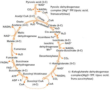 A Complicated Mess Of Reactions, Aka The Krebs Cycle Aka Citric