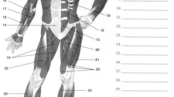 Fully Labelled Diagram Of The Muscular System Label Muscles
