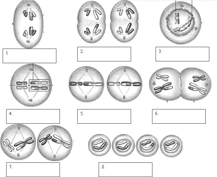 Ideas Of Meiosis Coloring Activity Worksheets For Your Service