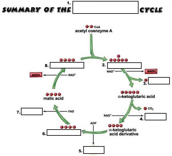 Krebs Cycle Worksheet Free Worksheets Library