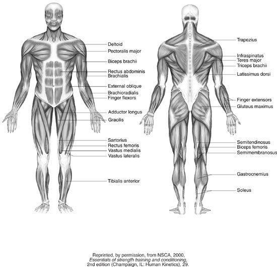 Muscle Diagram Worksheets – Hd