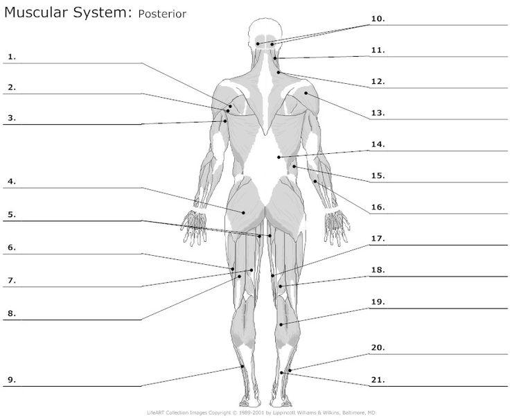 Muscular System Labeling Worksheet Free Worksheets Library
