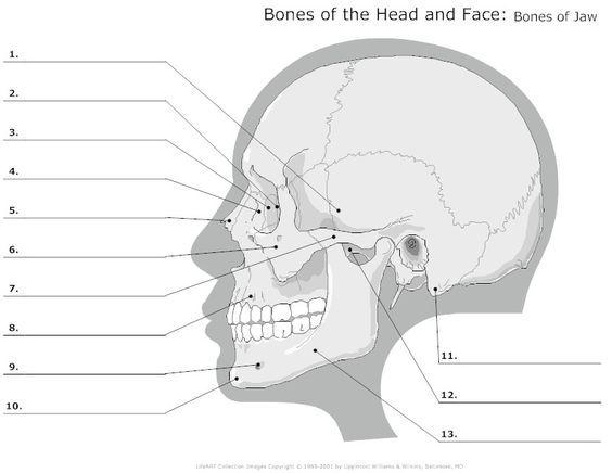 Advanced Skull Labeling Free Worksheets