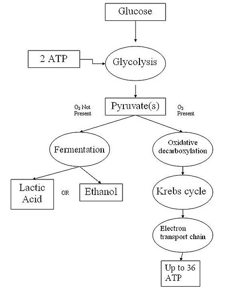 Cellular Respiration Worksheet Key Free Worksheets Library