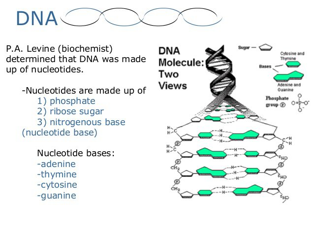 Dna Structure And Replication Worksheet Free Worksheets Library