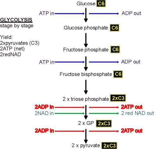 Glycolysis And The Krebs Cycle