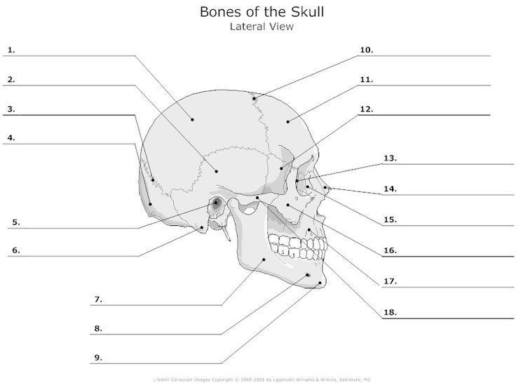 Human Anatomy Labeling Worksheets 296 Best Skeletal System Images