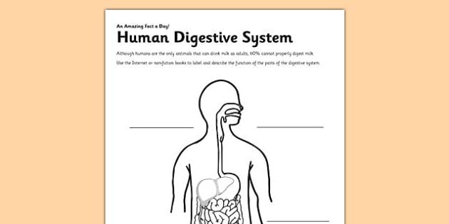 Human Digestive System Worksheet   Activity Sheet