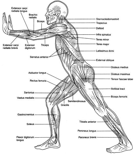 Human Muscle Anatomy Worksheet
