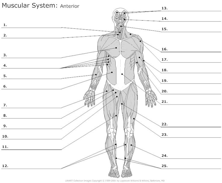 Muscle Worksheets Free Worksheets Library