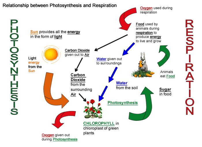 Printables  Photosynthesis And Cellular Respiration Worksheet