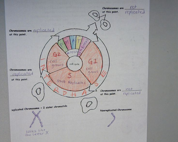 The Cell Cycle Coloring Worksheet Key Free Worksheets Library