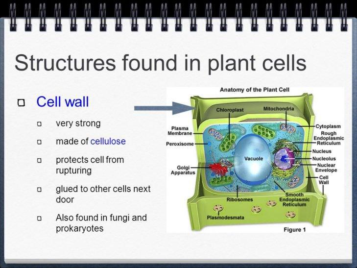 Worksheet   Chloroplast And Mitochondria Worksheet Answers Plant