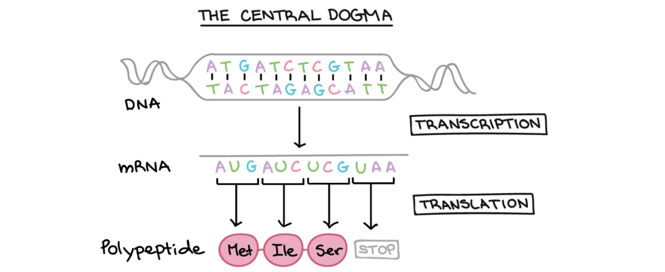 Worksheet   Dna Replication Activity High School Two Strands Of