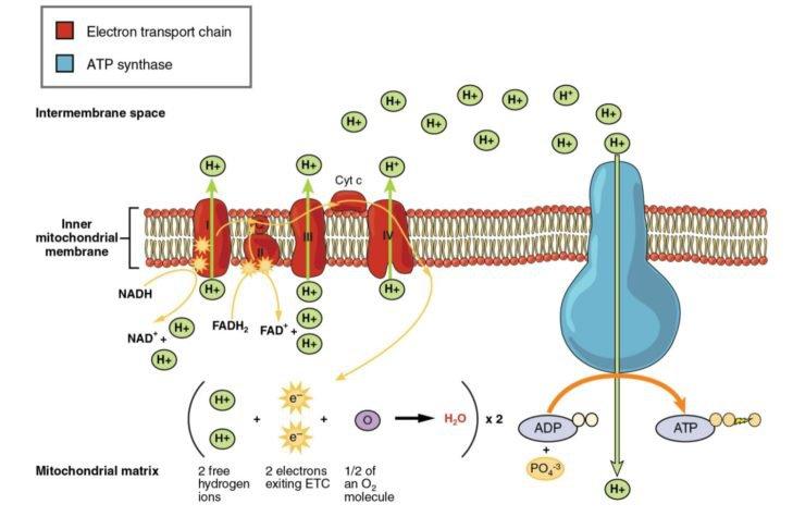 Worksheet   Snacks Illos V1 Indd Cell Membrane And Transport