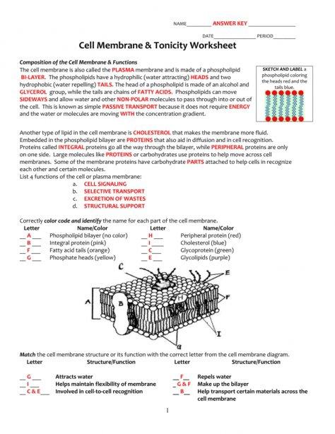 Worksheet Templates   Cell Membrane & Tonicity Worksheet Osmosis