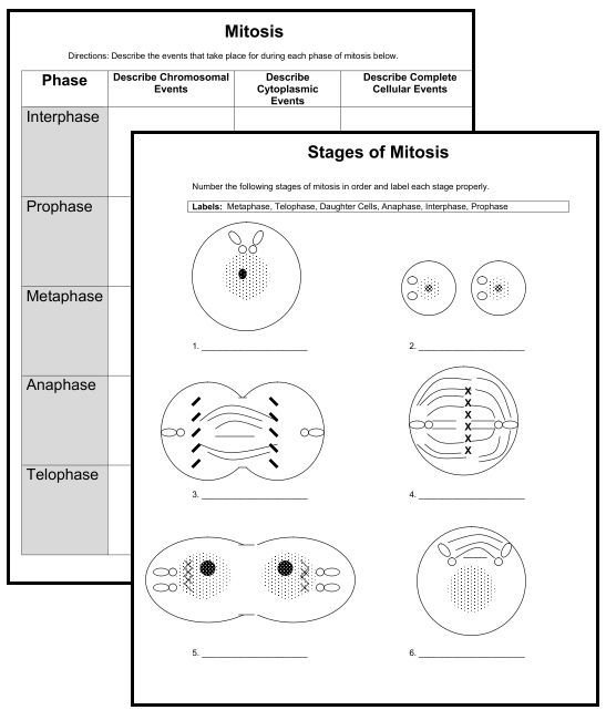 26 Images Of Mitosis Blank Template