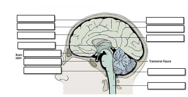 Blank Brain Stem Anatomy Worksheet