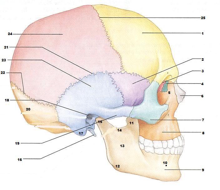 Bones Of The Skull Worksheet Worksheets For School