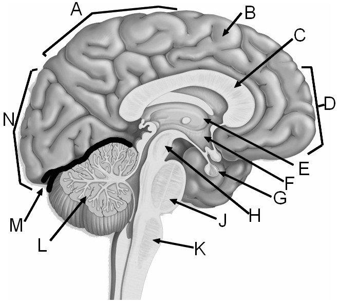 Brain Label
