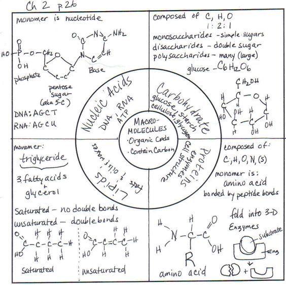 Image Result For Macromolecules Graphic Organizer