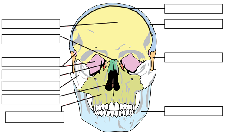 Label The Bones Of The Skull Skull Anatomy Labeling