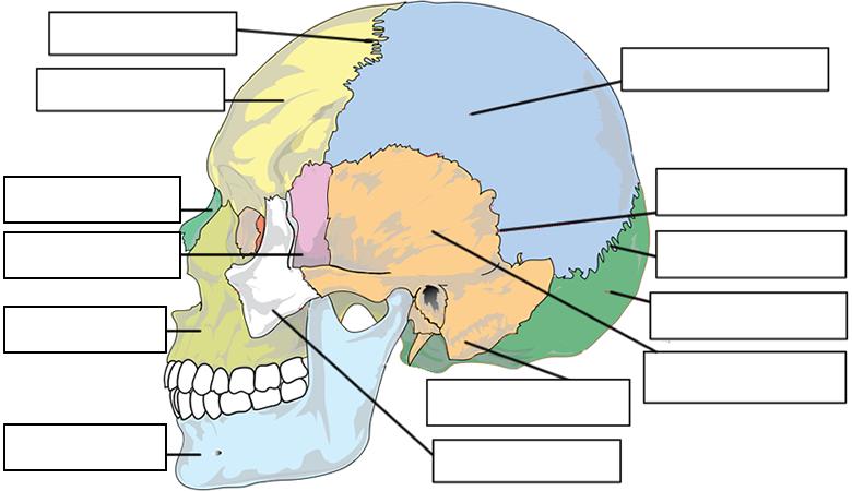 Label The Bones Of The Skull Skull Labeling Worksheet
