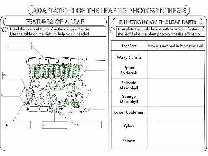 Leaf Parts Worksheet Worksheets For All