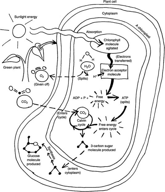 Photosynthesis And Respiration Model Cells On Bullying Coloring