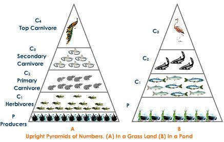 Printables  Ecological Pyramid Worksheet  Agariohi Worksheets