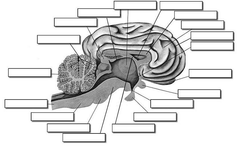 Sheep Brain Label