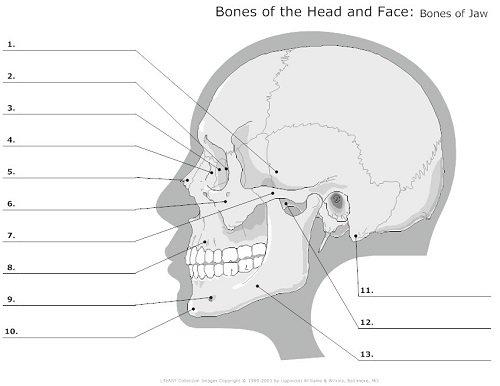 Skull Anatomy Worksheets
