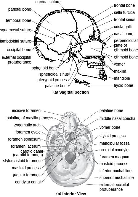 The Cranial Bones Image Galleries
