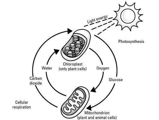 What Are Photosynthesis And Respiration