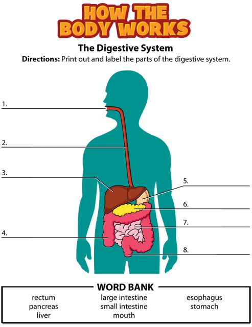 Digestive System Parts Worksheets