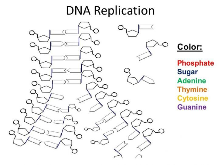 Dna Replication Worksheet Answers Dna The Double Helix Coloring
