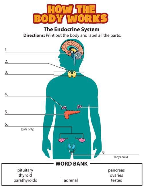 Endocrine System Worksheets Worksheets For All