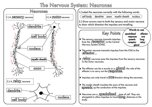 Gcse Revision Nervous System  Neurones Worksheet By Beckystoke