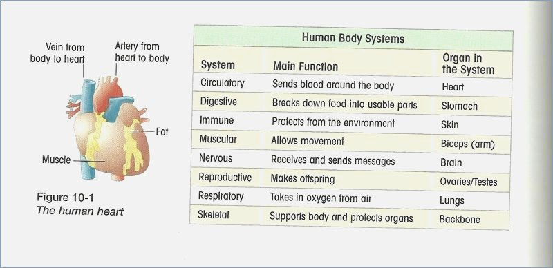 Human Body Systems Worksheet Answers – Careless Me