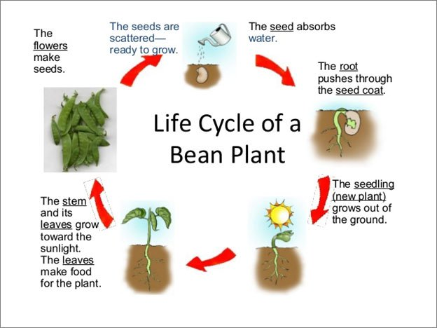 Life Cycle Of A Bean Plant  Science Lesson For Grade 1  A Life