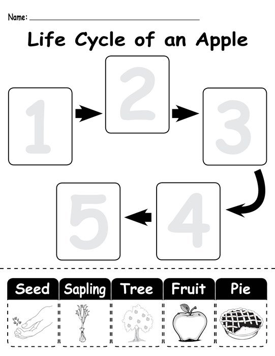 Life Cycle Of An Apple  Free Printable Worksheet