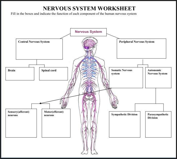 Nervous System Worksheets Middle School Worksheets For All