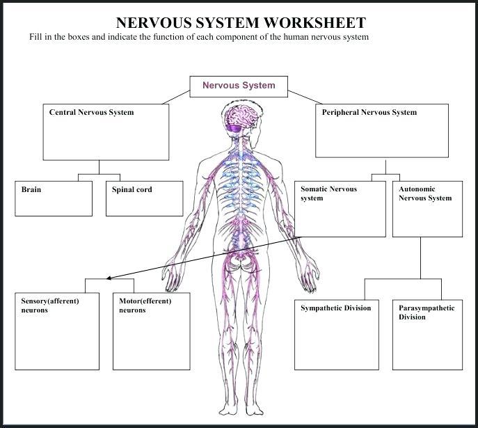 Nervous System Worksheets Plus The Nervous System Stunning Central