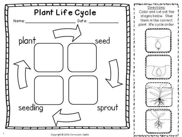 Plant Life Cycle Worksheet Kindergarten Worksheets For All