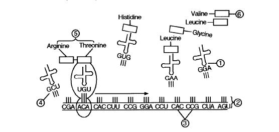 Transcription And Translation Worksheet Image