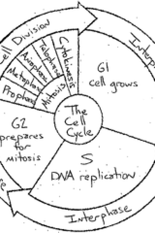 Cell Cycle Worksheet The Cell Cycle Worksheet Worksheets For All