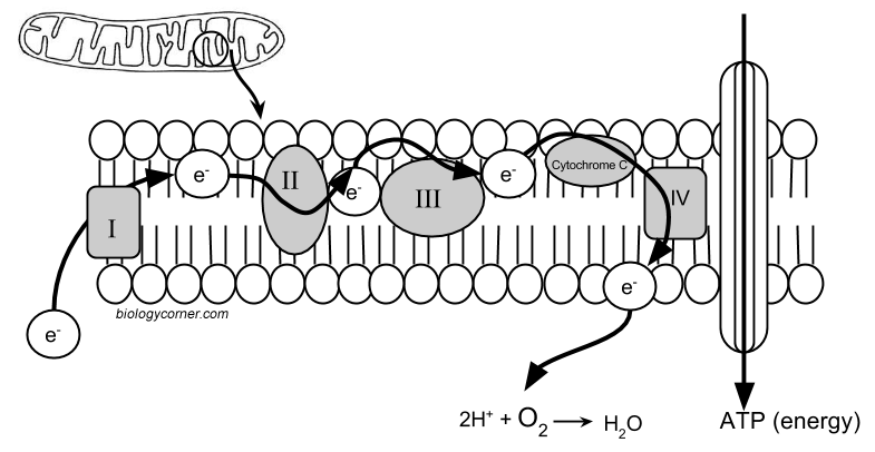 Chicago Cyanide Murders  A Case Study In Cellular Respiration
