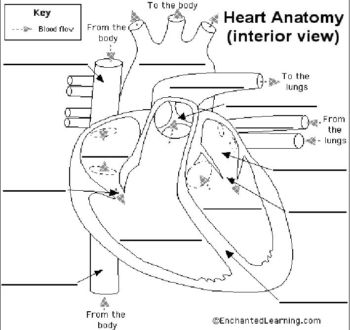Heart And Circulatory System Worksheets