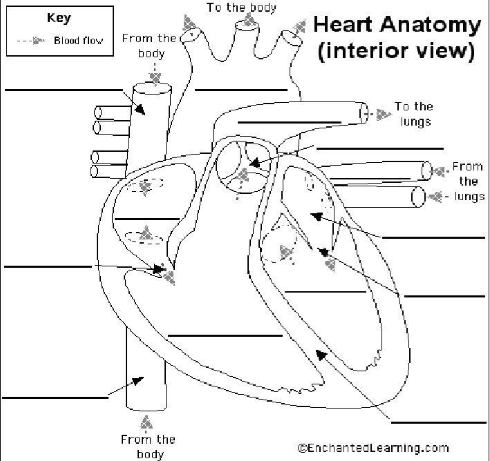 Circulatory System Worksheet Answers Circulatory System Worksheet