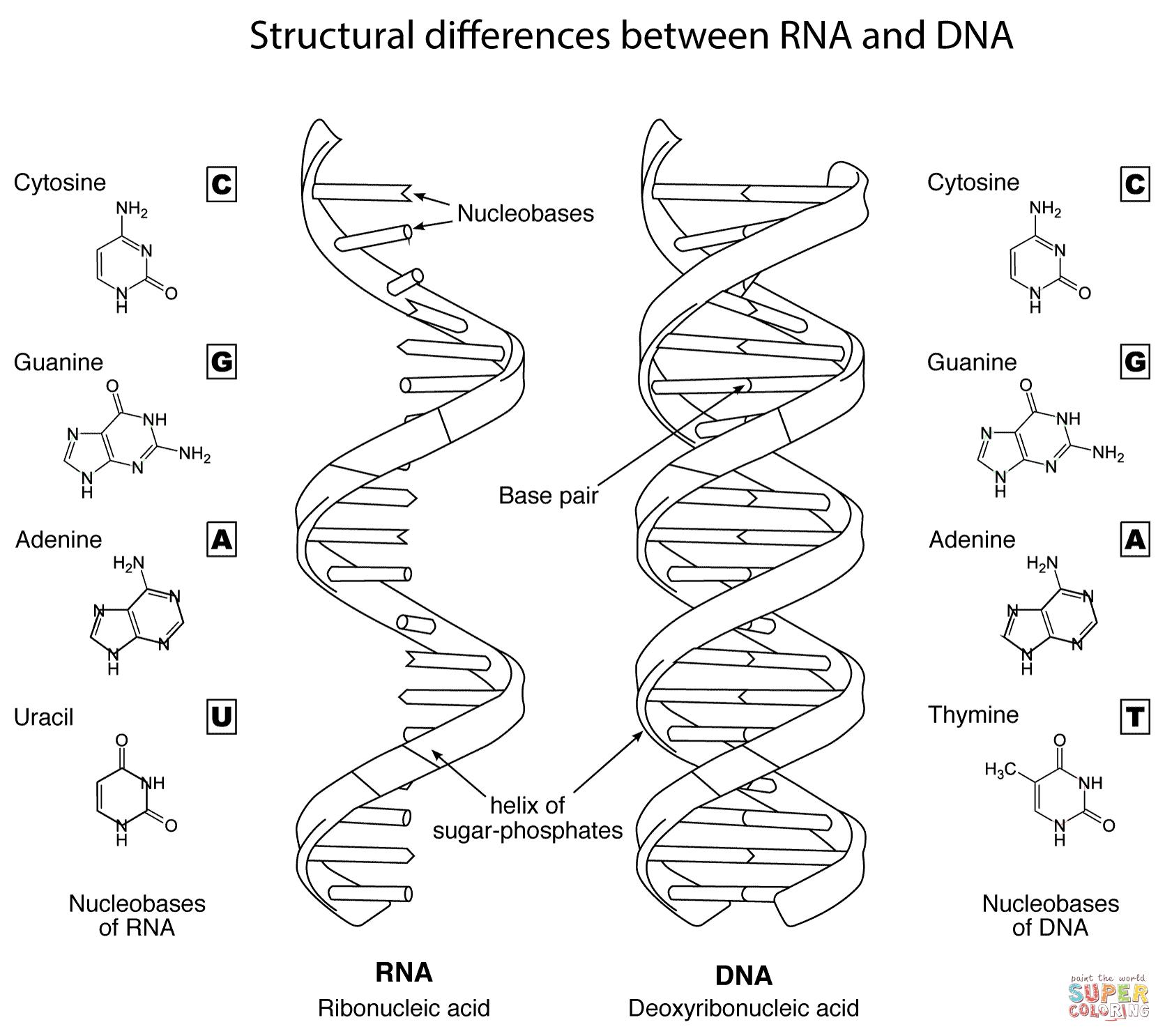 Dna Structure Labeling Worksheet The Best Worksheets Image